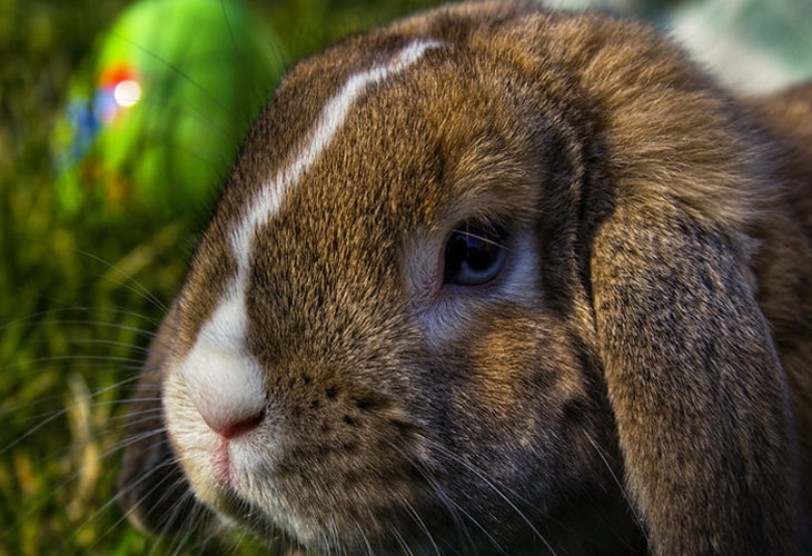Brown-and-white-rabbits
