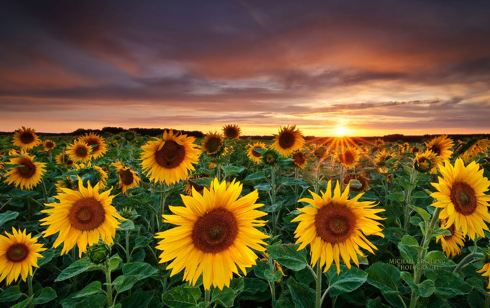 Nature Photography Fields Sunflowers Yellow Flowers
