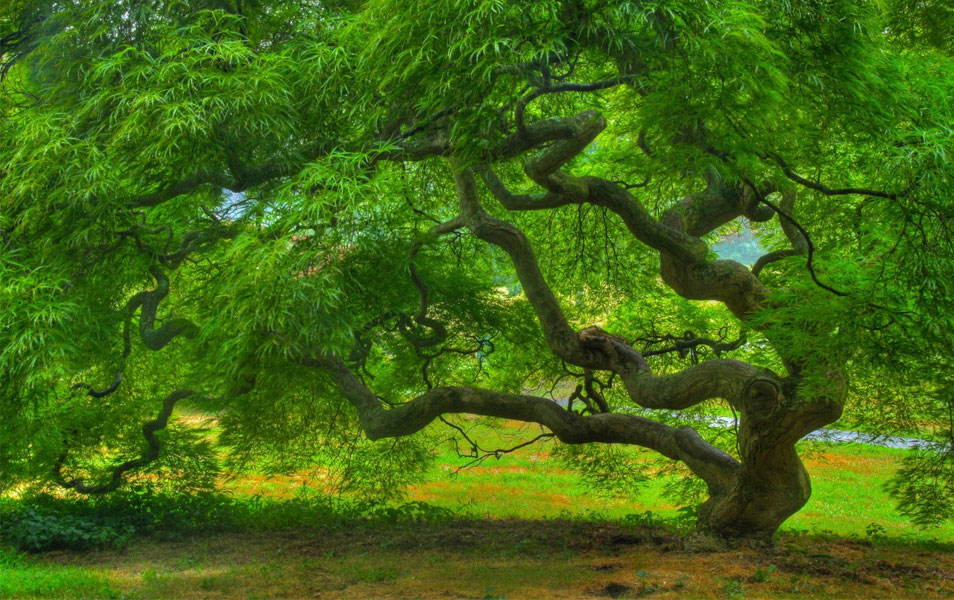 nature tree summer maple japanese landscape hd photograph inspiration trees zen woodland print etsy fine threadleaf 6x9 hdr photographs examples